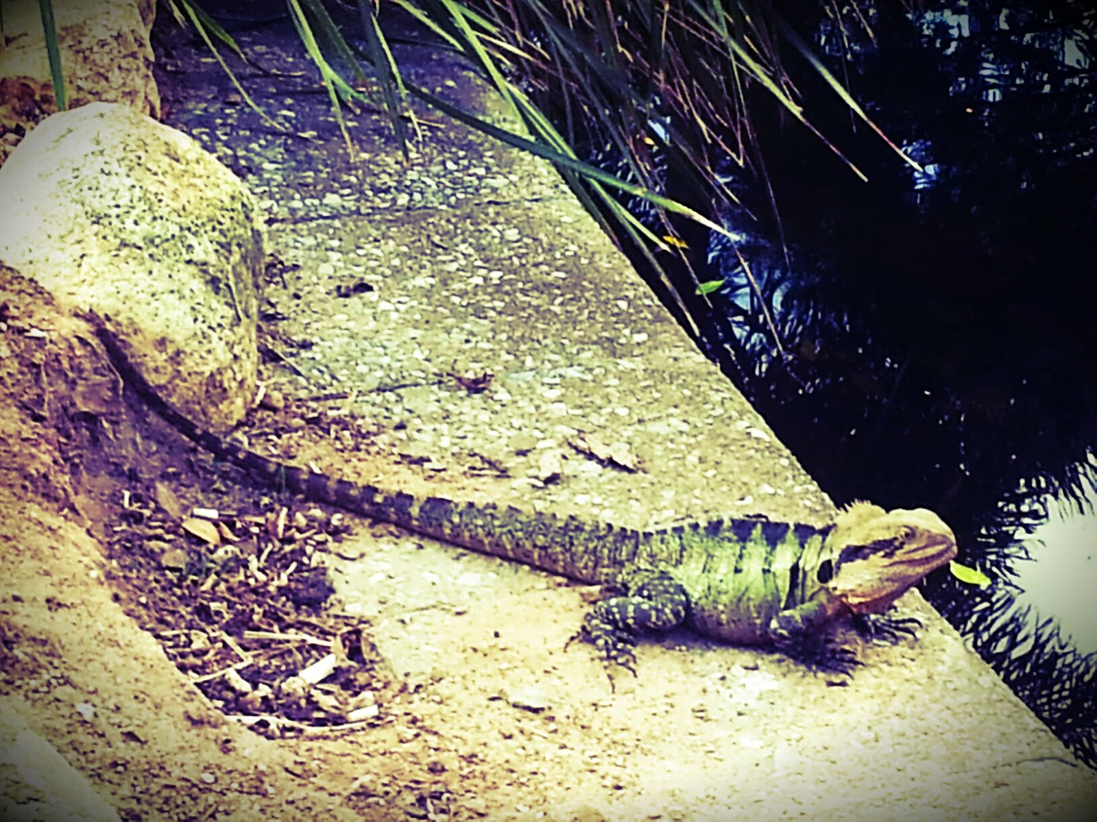 A water dragon at South Bank