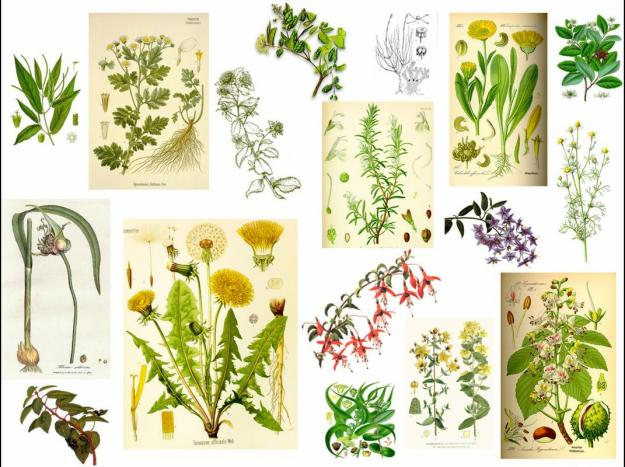 El refugio plantas medicinales for Tipos de hierbas medicinales