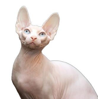Chat sans poil le chat sans poil sphynx caract ristiques - Chat qui perd pas ses poils ...
