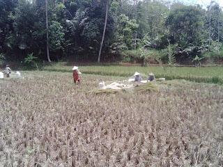 Masyarakt lagi memanen padi di kampung Cicae.
