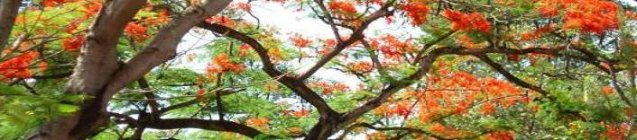Trời đất dành riêng tuổi học trò . Một loài hoa đỏ rất nên thơ ...