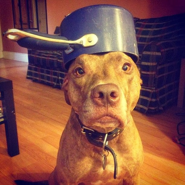 Scout the pit bull balances stuff on his head (30 pics), stuff on Scout's head, scout wears pan on his head