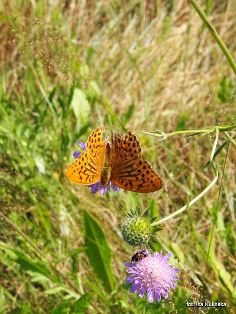 motyle , perłowiec malinowiec , motylek , motyl , podlasie , owady , rusałkowate , wycieczka , łąka