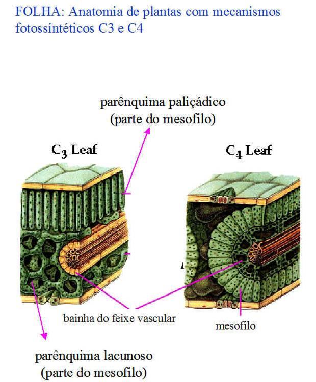 Asteraceae: Variações no metabolismo fotossintético.