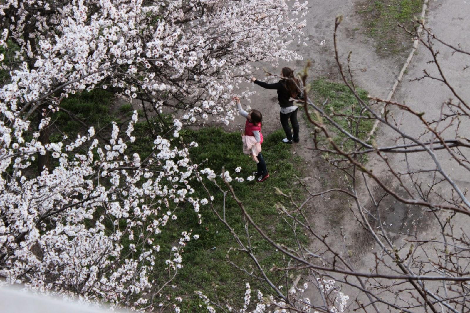 цветущие деревья, пейзаж, цветы, абрикосы цветут