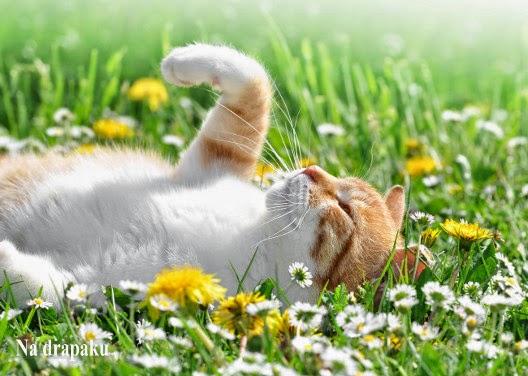 Dlaczego koty reagują na kocimiętkę?