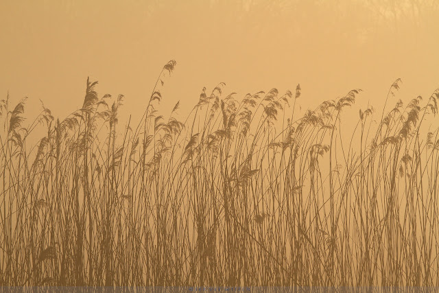 Riet bij zonsopkomst - Reed field at sunrise