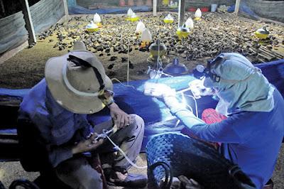 Tiêm phòng cho gà vào đầu mùa mưa ở một trang trại tại Đồng Nai - Ảnh: A Lộc