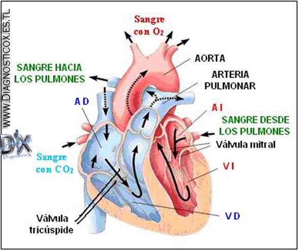 TEM] Fisiologia Sistema cardiovascular | .