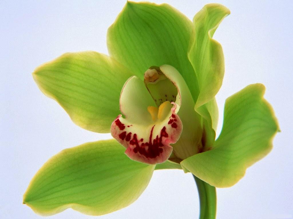 http://www.scenicreflections.com/media/581049/Green_orchid_Wallpaper/