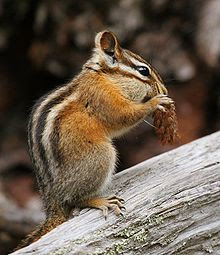 Chipmunk, Acorn, Tree Stump, Eating