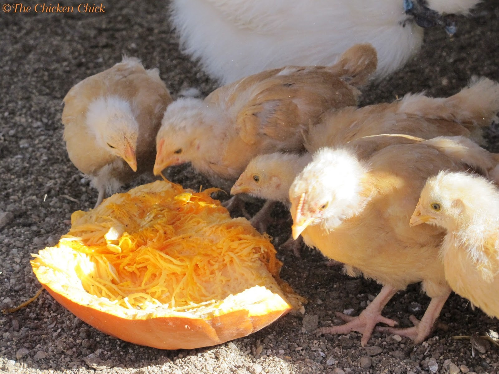 top 5 myths and facts about treats for chickens community chickens