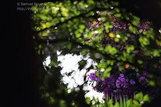été fleur violette macro