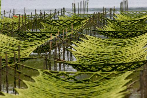 Les algues alimentaires, une mine de minéraux et protéines