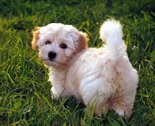 Havanese Puppy Picture