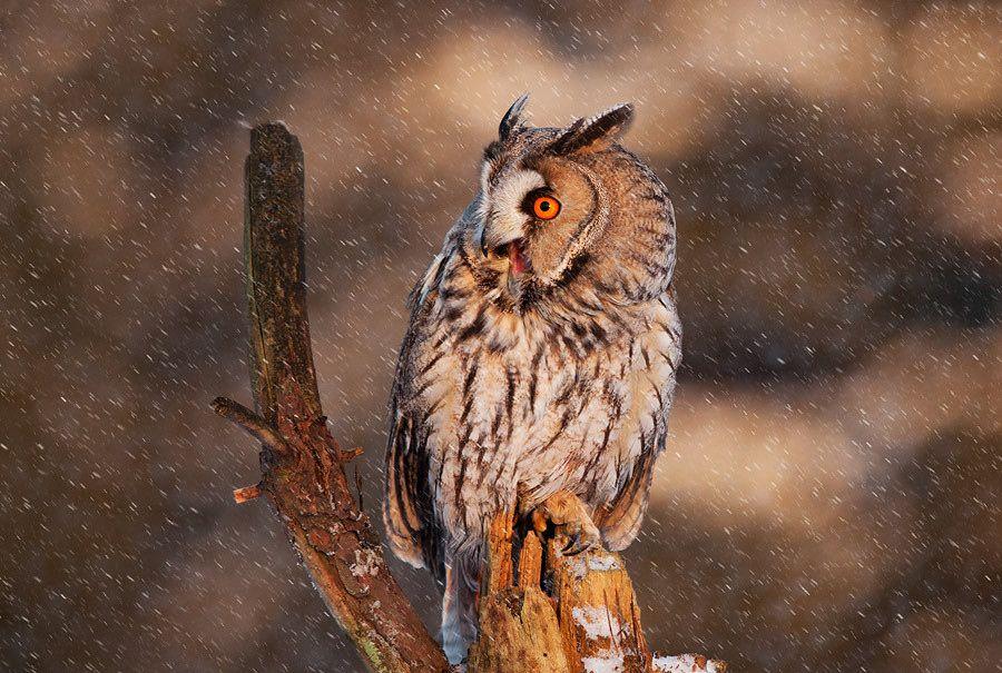 13. Long eared owl