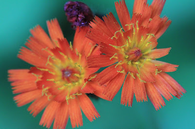 Hieracium aurantiacum (Orange Hawkweed, Devil's Paintbrush)