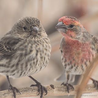 Female and male House Finches  Photo © Shelley Banks, all rights reserved.