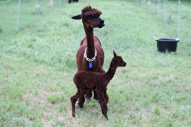 Brigid's cria was up and walking within an hour after delivery