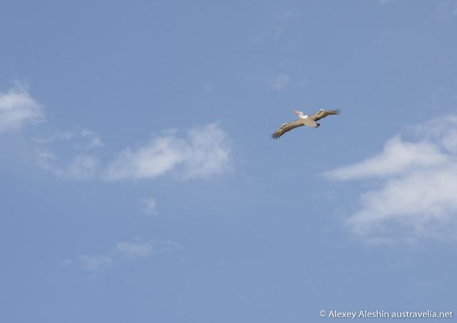 Huge albatrosses and pelicans patrolling the beach