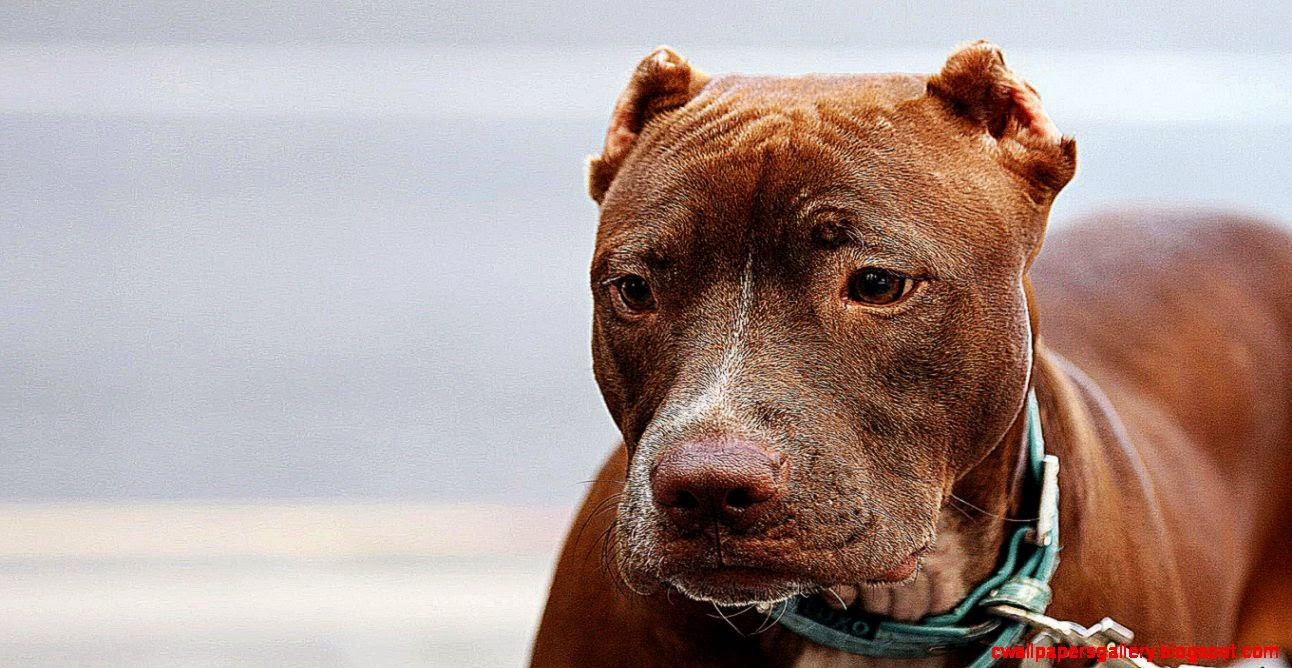 Wallpapers4u Red nose pitbull strong playful beautiful loyal