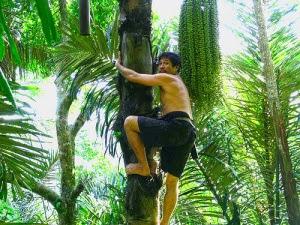 Pohon Aren, Pohon Enau, Pohon Ijuk