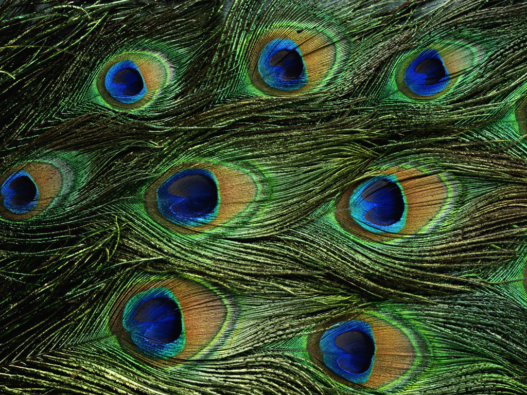 Peacock Feathers Wallpapers Wallpaper