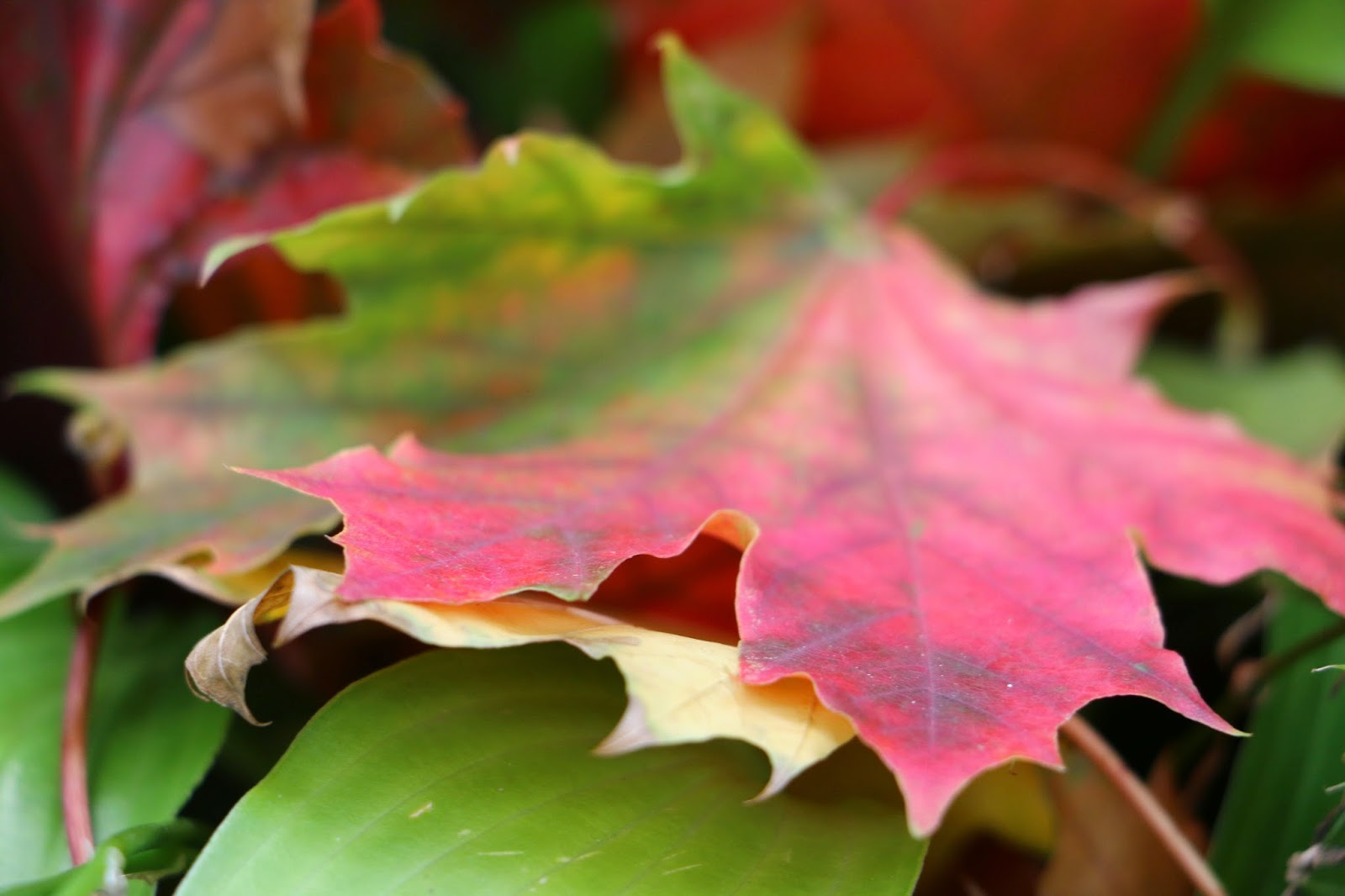 Colorful leaves of Canada-3 Photo: Shahrzad Ghaffari MVM, 23 oct.2014