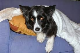 cães com lesão