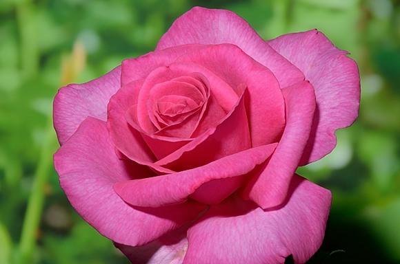 Parole rose сорт розы фото