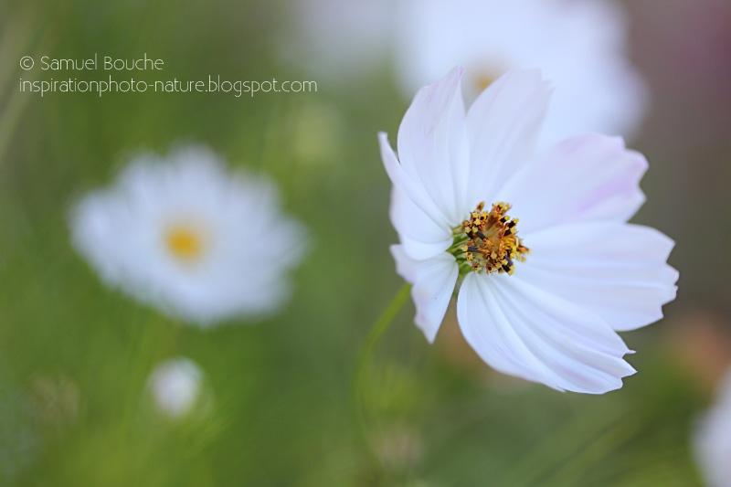 macro cosmos fleur blanche nature