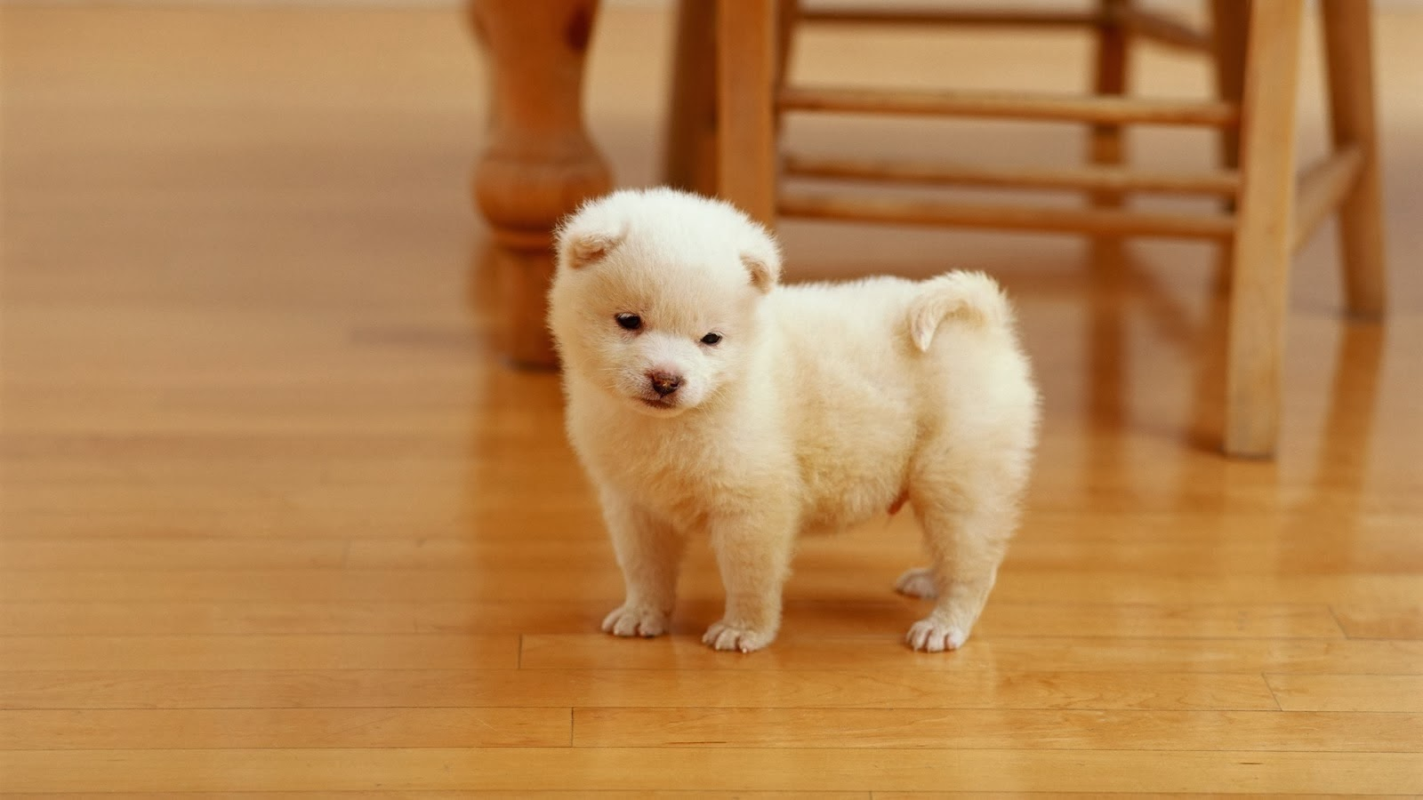 Cute Funny Animalz Funny Cute White Puppies graphy 2013
