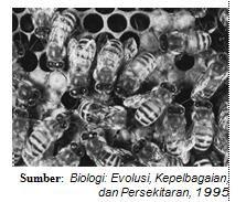 Populasi lebah (Apis indica). Kumpulan lebah-lebah di sarangnya merupakan suatu populasi