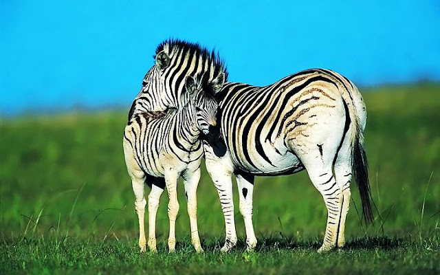 Zebra mother love