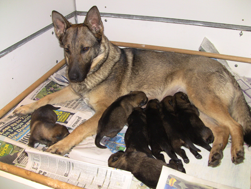 Ruby a German Shepherd laying down but with head up waiting patiently as her pups feed