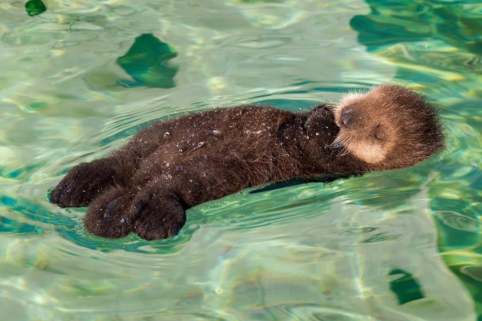 Funny animals of the week - 31 January 2014 (40 pics), otter floats in water