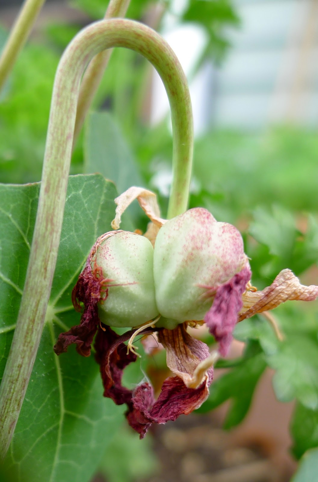 nasturtium seeds, nasturtium capers, edible flowers