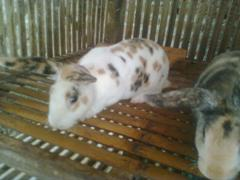 kelinci-16