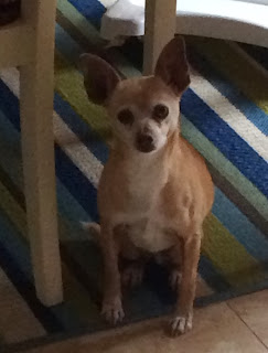 Sweetpea, a Chihuahua Mix is looking for a forever home