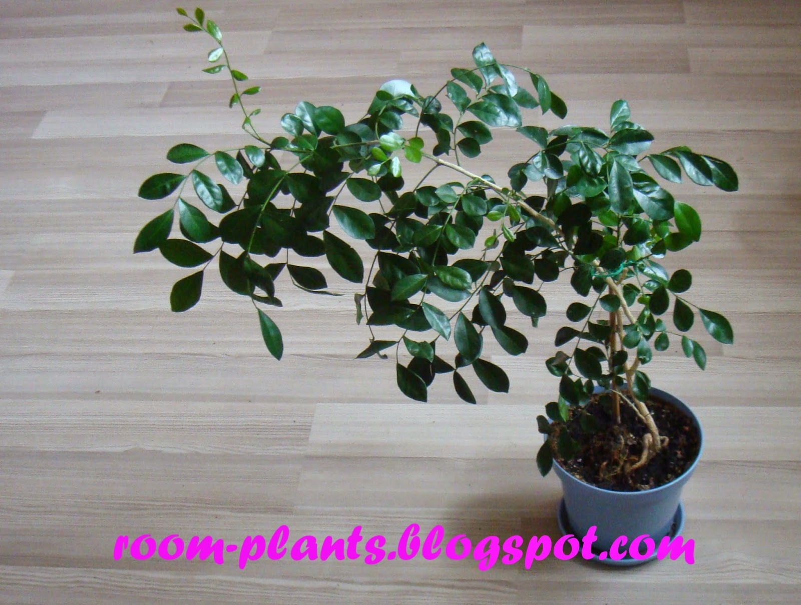 Plant39s The Soul Of Your Flat Murraya Paniculata Orange