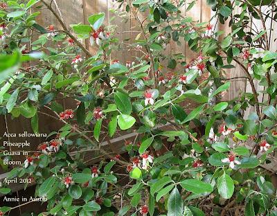 Annieinaustin, pineapple guava flowers