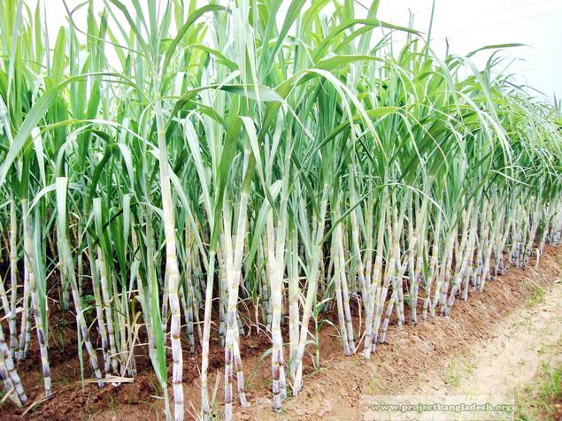 information window sugarcane cultivation in bangladesh