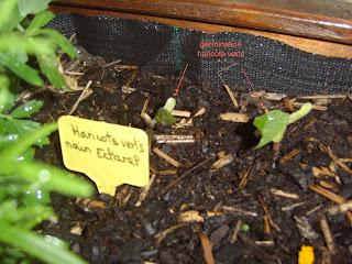 potager-carre1-premieres-germination1