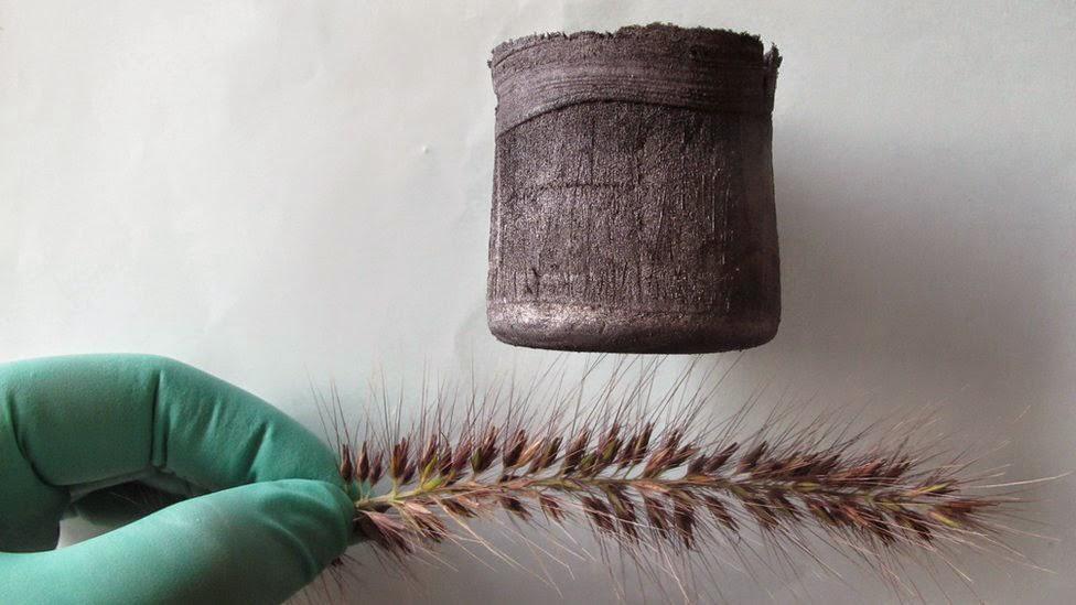 إيروجيل الكربون على شعيرات نبات القمح