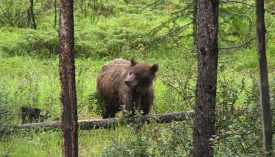 Brunbjørn i Jasper National Park.