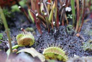 immagine: Pianta carnivora