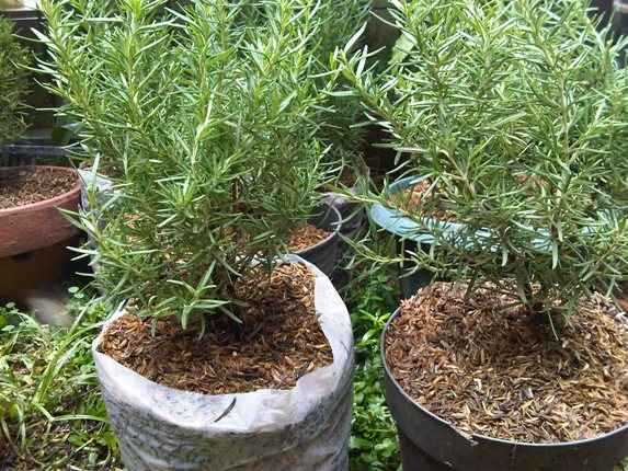 how to take care of rosemary plant in a pot