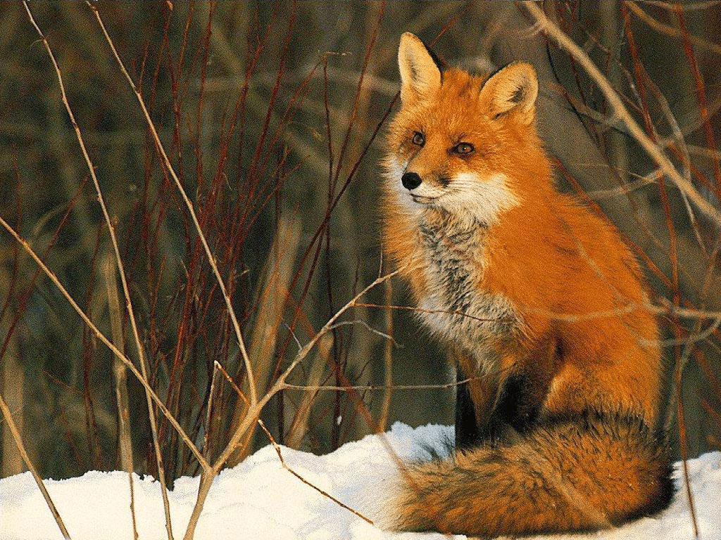 http://1.bp.blogspot.com/-BFfbH5whWBk/UBkQhuJUDQI/AAAAAAAAFRw/9H3IAAOqvZ8/s1600/Red+Fox+Wallpapers+4.jpg