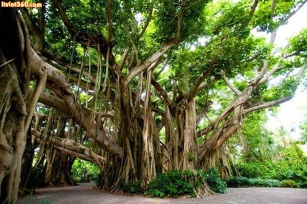 Banyan tree Cypress Gardens, FL