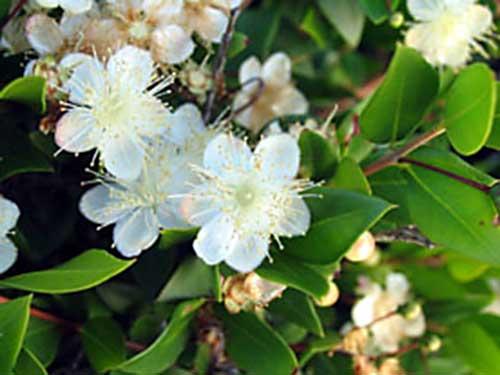 Fiori piante e giardini del mondo mirto pianta usata per for Pianta mirto